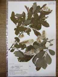 Salix caprea x cinerea = S. x reichardtii herbarium specimen from Wicken Fen, VC29 Cambridgeshire in 1986 by Peter Derek Sell.