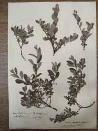 Salix aurita x repens = S. x ambigua herbarium specimen from Inchnadamph, VC108 West Sutherland in 1890 by Rev. Edward Shearburn Marshall.