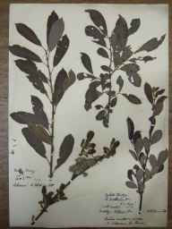 Salix cinerea x aurita = S. x multinervis herbarium specimen from Oykel Bridge, VC107 East Sutherland in 1890 by Rev. Edward Shearburn Marshall.