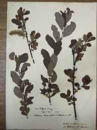 Salix cinerea x aurita = S. x multinervis herbarium specimen from Tilford, VC17 Surrey in 1890 by Rev. Edward Shearburn Marshall.