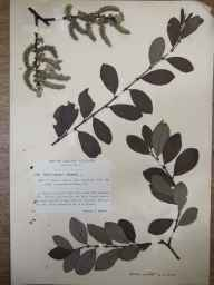 Salix cinerea x aurita = S. x multinervis herbarium specimen from Shadwell, VC64 Mid-west Yorkshire in 1913 by Mr Arnold Eastwood Bradley.
