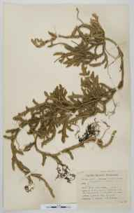 Lycopodium clavatum herbarium specimen from Fleetwith Pike, VC70 Cumberland in 1948 by Robert A Boyd.