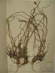 Dactylis glomerata herbarium specimen from Dunkerque in 1929 by Dr Maurice Bouly de Lesdain.