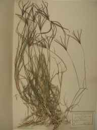 Cynodon dactylon herbarium specimen from Dunkerque in 1928 by Dr Maurice Bouly de Lesdain.