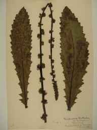 Verbascum blattaria herbarium specimen from Salcombe, VC3 South Devon in 1906.