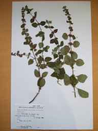 Mentha arvensis x aquatica x spicata = M. x smithiana herbarium specimen from Screen Hills, VCH12 Co. Wexford in 1990 by Rosemary Fitzgerald.