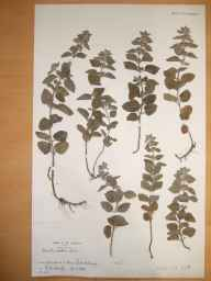 Mentha arvensis x aquatica = M. x verticillata herbarium specimen from Killarney, Kerry in 1903 by Reginald Wiliam Scully.