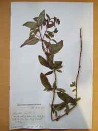 Mentha aquatica x spicata = M. x piperita herbarium specimen from Brandon Bay, Kerry in 1963 by Michael Long.