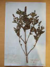 Mentha aquatica x spicata = M. x piperita herbarium specimen from Saul, VCH38 Co. Down in 1894 by Rev Coslett Herbert Waddell.
