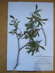 Salix pentandra x fragilis = S. x meyeriana herbarium specimen from Magheramorne Quarry, VCH39 Co. Antrim in 1994 by Paul Hackney.