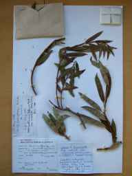 Salix triandra x viminalis = S. x mollissima herbarium specimen from Carrigkerry, VCH8 Co. Limerick in 1988 by Mrs S Reynolds.