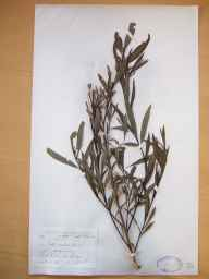 Salix purpurea x viminalis = S. x rubra herbarium specimen from Loch Gill, VCH28 Co. Sligo in 1899 by Mr Robert Lloyd Praeger.