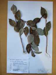 Salix caprea x cinerea = S. x reichardtii herbarium specimen from Sandyford Industrial Estate, VCH21 Co. Dublin in 1988 by J.R.