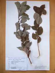 Salix caprea x cinerea = S. x reichardtii herbarium specimen from Alexandra Basin, VCH21 Co. Dublin in 1988 by Sylvia Reynolds.