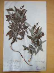 Salix viminalis x caprea = S. x smithiana herbarium specimen from Shillelagh, VCH20 Co. Wicklow in 1899 by Mr Robert Lloyd Praeger.