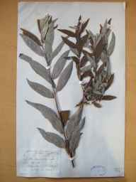 Salix viminalis x caprea = S. x smithiana herbarium specimen from Ballyscanlan Lough, VCH6 Co. Waterford in 1899 by Mr Robert Lloyd Praeger.