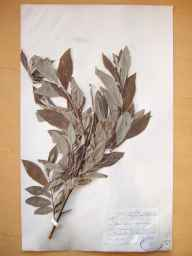 Salix viminalis x caprea = S. x smithiana herbarium specimen from Rockville, VCH25 Co. Roscommon in 1899 by Mr Robert Lloyd Praeger.