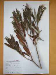 Salix viminalis x cinerea = S. x holosericea herbarium specimen from Lough Creeve, VCH32 Co. Monaghan in 1986 by Donal Michael Synnott.