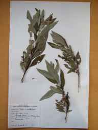 Salix viminalis x cinerea = S. x holosericea herbarium specimen from Lough Bane, VCH32 Co. Monaghan in 1980 by Donal Michael Synnott.