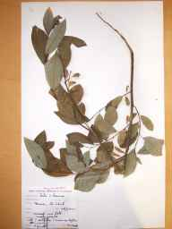 Salix cinerea x phylicifolia = S. x laurina herbarium specimen from Tinure, VCH31 Co. Louth in 1997 by Donal Michael Synnott.