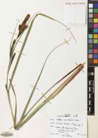 Carex acutiformis herbarium specimen from Culter, VC77 Lanarkshire in 1996 by D J McCosh.