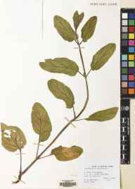 Scrophularia auriculata herbarium specimen from Arinambare, VC110 Outer Hebrides in 1994 by P Bartlett.