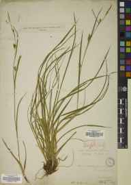 Carex depauperata herbarium specimen from Godalming, VC17 Surrey in 1807 by Mr William Borrer.