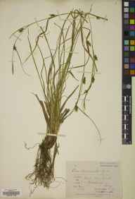 Carex depauperata herbarium specimen from Godalming,Frith Hill Woods, VC17 Surrey in 1874 by Mr Arthur Bennett.