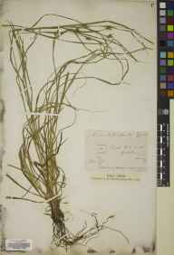 Carex depauperata herbarium specimen from Frith Hill, Godalming, VC17 Surrey in 1874 by Mr Arthur Bennett.