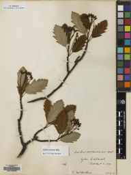 Sorbus arranensis herbarium specimen from Glen Catacol, VC100 Clyde Islands in 1933 by E McArthur.