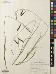 Carex flacca herbarium specimen from Glasgow, Clarkston, VC76 Renfrewshire in 1937 by Mr Robert MacKechnie.