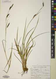 Carex binervis herbarium specimen from Wilkwood Burn, VC67 South Northumberland in 1978 by Martin F Gardner.