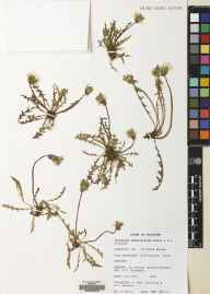 Taraxacum haworthianum herbarium specimen from Killinallan, VC102 South Ebudes in 1972 by Archibald Graham Kenneth.