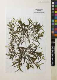 Potamogeton gramineus herbarium specimen from Loch na Morgha, VC110 Outer Hebrides in 1995 by John J Day.