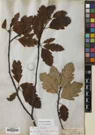 Sorbus arranensis herbarium specimen from Loch Ranza, VC100 Clyde Islands in 1850 by Prof John Hutton Balfour.