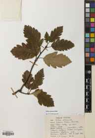 Sorbus arranensis herbarium specimen from Gleann Easan Biorach, VC100 Clyde Islands in 1967 by J P Turner.