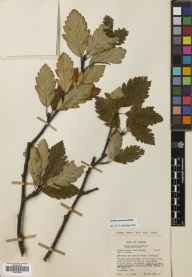 Sorbus arranensis herbarium specimen from Gleann Diomhan, VC100 Clyde Islands in 1957 by Dr Peter Shaw Green.