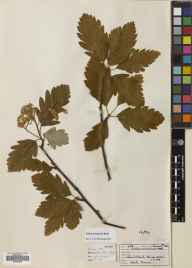 Sorbus arranensis herbarium specimen from Glen Catacol, VC100 Clyde Islands in 1961 by Dr Ursula Katherine Duncan.