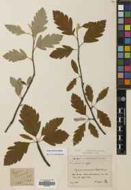 Sorbus arranensis herbarium specimen from Gleann Easan Biorach, VC100 Clyde Islands in 1899 by Mr Alexander Somerville.