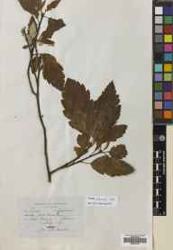 Sorbus arranensis herbarium specimen from Loch Ranza, VC100 Clyde Islands in 1957 by J W Brown.