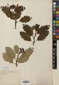 Sorbus arranensis herbarium specimen from Loch Ranza, VC100 Clyde Islands in 1895.