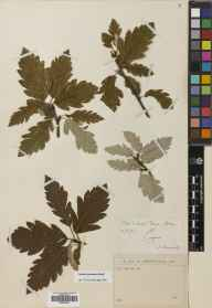 Sorbus arranensis herbarium specimen from Glen Catacol, VC100 Clyde Islands in 1895 by Mr Alexander Somerville.