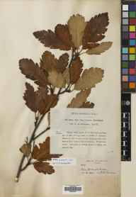Sorbus arranensis herbarium specimen from Glen Catacol, VC100 Clyde Islands in 1897 by A D Richardson.
