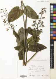Scrophularia nodosa herbarium specimen from Boarhills, VC85 Fifeshire in 1981 by Andrew Angus.