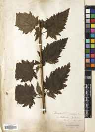 Scrophularia nodosa herbarium specimen from Richmond, VC65 North-west Yorkshire.