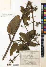 Scrophularia auriculata herbarium specimen from Braid Burn, VC83 Midlothian in 1946 by James Sinclair.