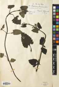 Scrophularia scorodonia herbarium specimen from Penzance, VC1 West Cornwall in 1877 by Mr William Booth Waterfall.
