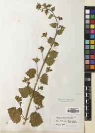 Scrophularia vernalis herbarium specimen from Longniddry, VC82 East Lothian in 1906 by William Edgar Evans.