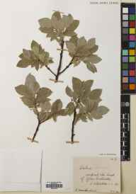Salix lanata herbarium specimen from Glen Callater, VC92 South Aberdeenshire in 1934 by Mr Robert MacKechnie.