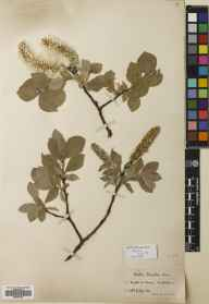 Salix lanata herbarium specimen from Killin,Meall na Samhna [Saone], VC88 Mid Perthshire in 1909 by William Edgar Evans.